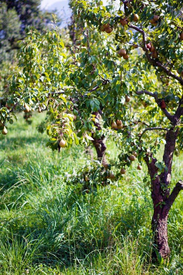 ... chard pear gruyère swiss chard pear and gruyere gruyere pear and