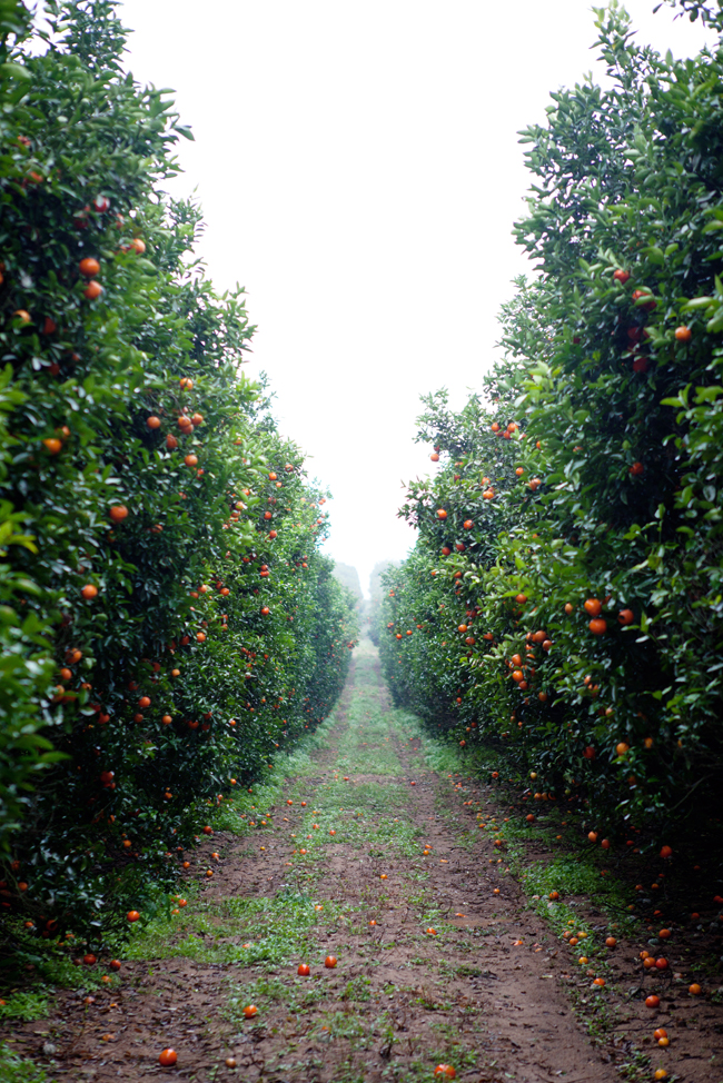 The Citrus Groves At Uncle Matt S Cannelle Et Vanille