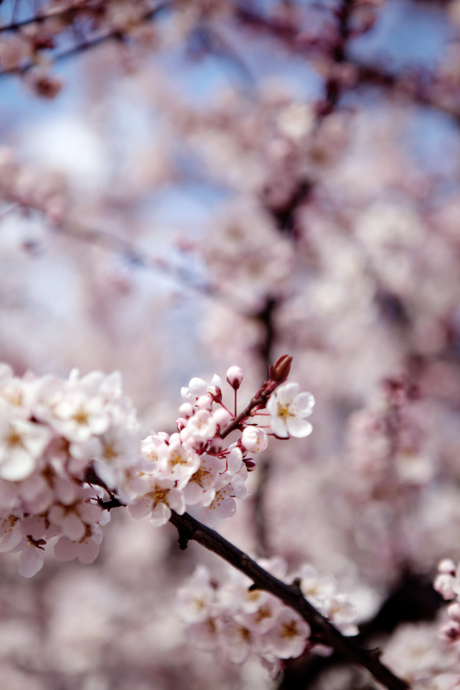 Plum blossoms in Seattle