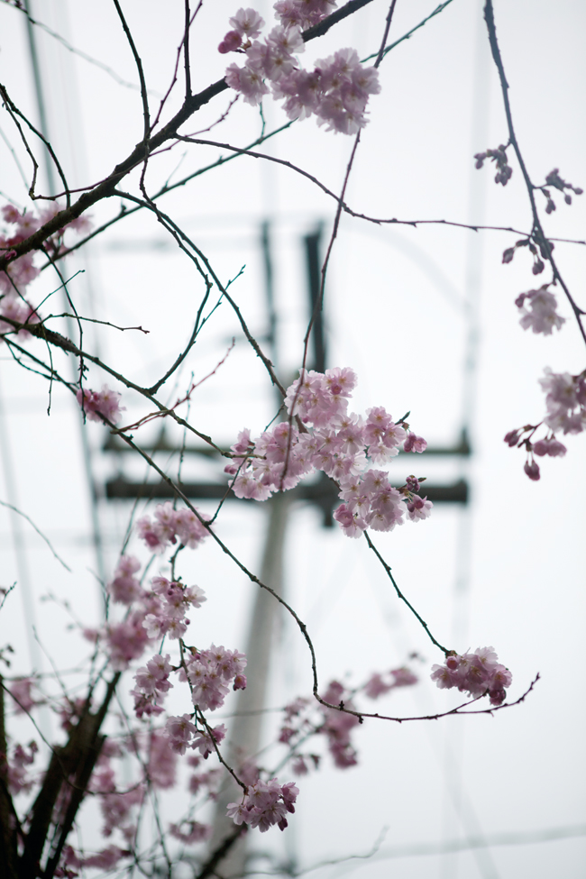 Cherry blossoms in Seattle | Cannelle et Vanille