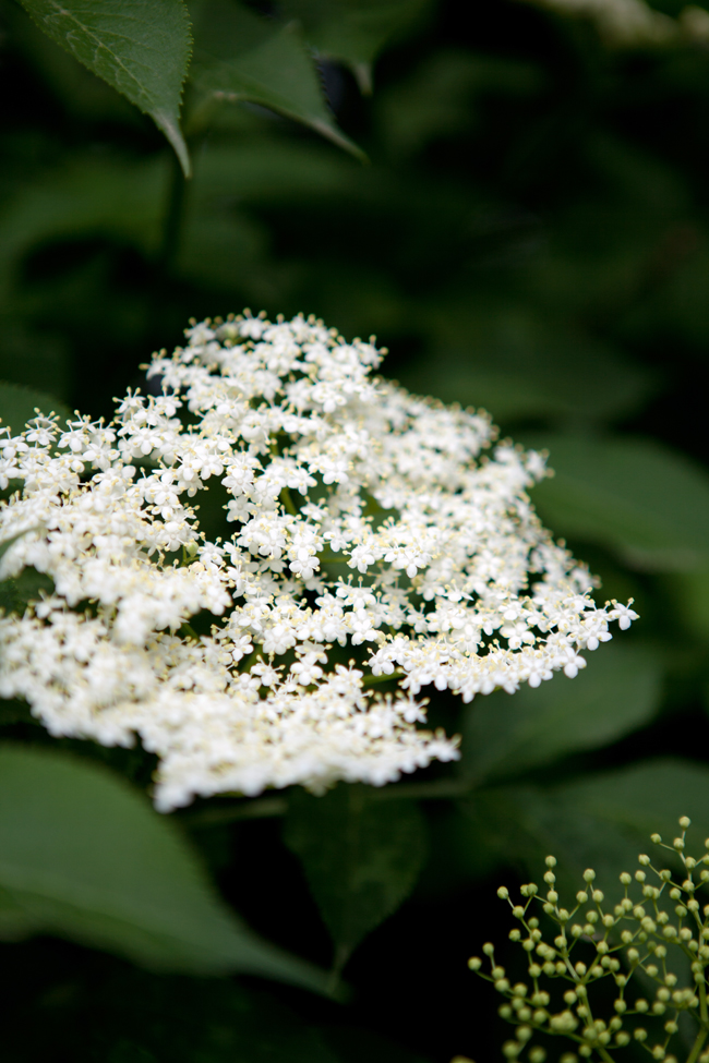 Elderflower | Cannelle et Vanille